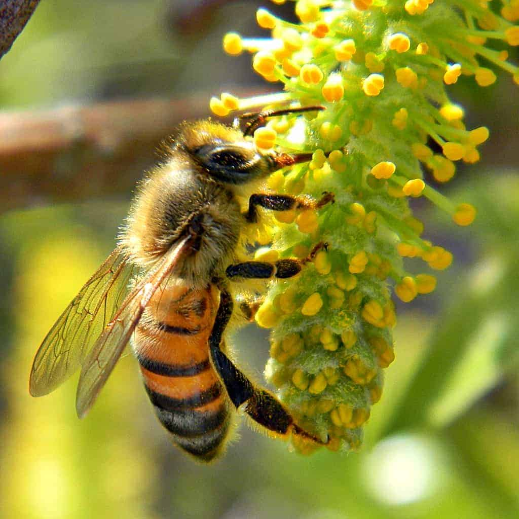 Honey Bee on Willow Catkin