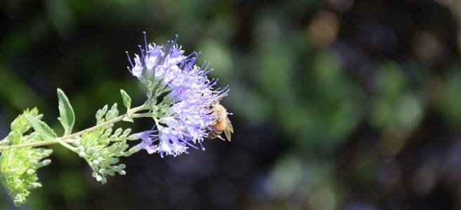 Honeybee Foraging
