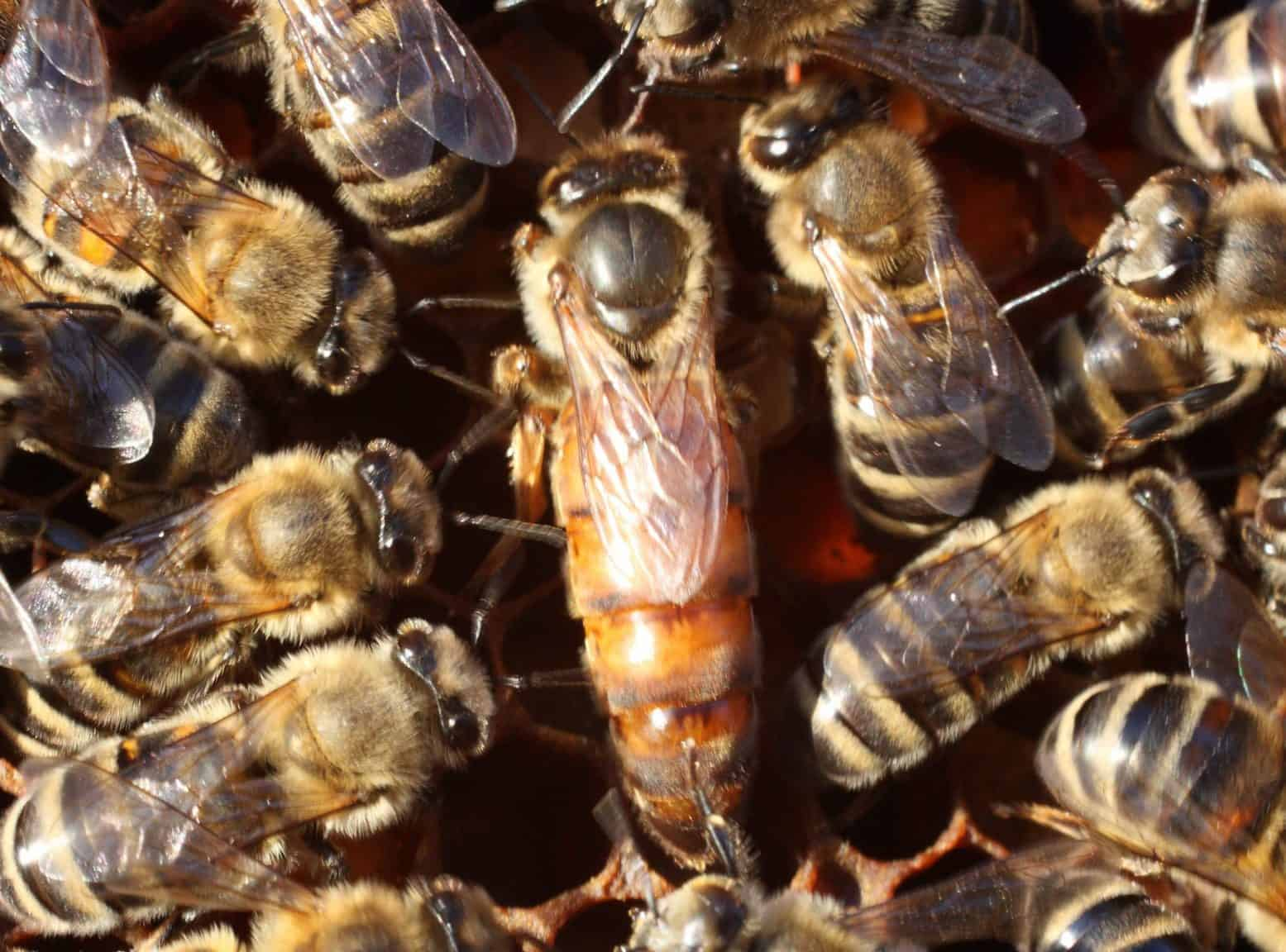 The Role of the Queen Bee - PerfectBee