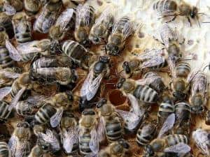 Carniolan Queen Bee
