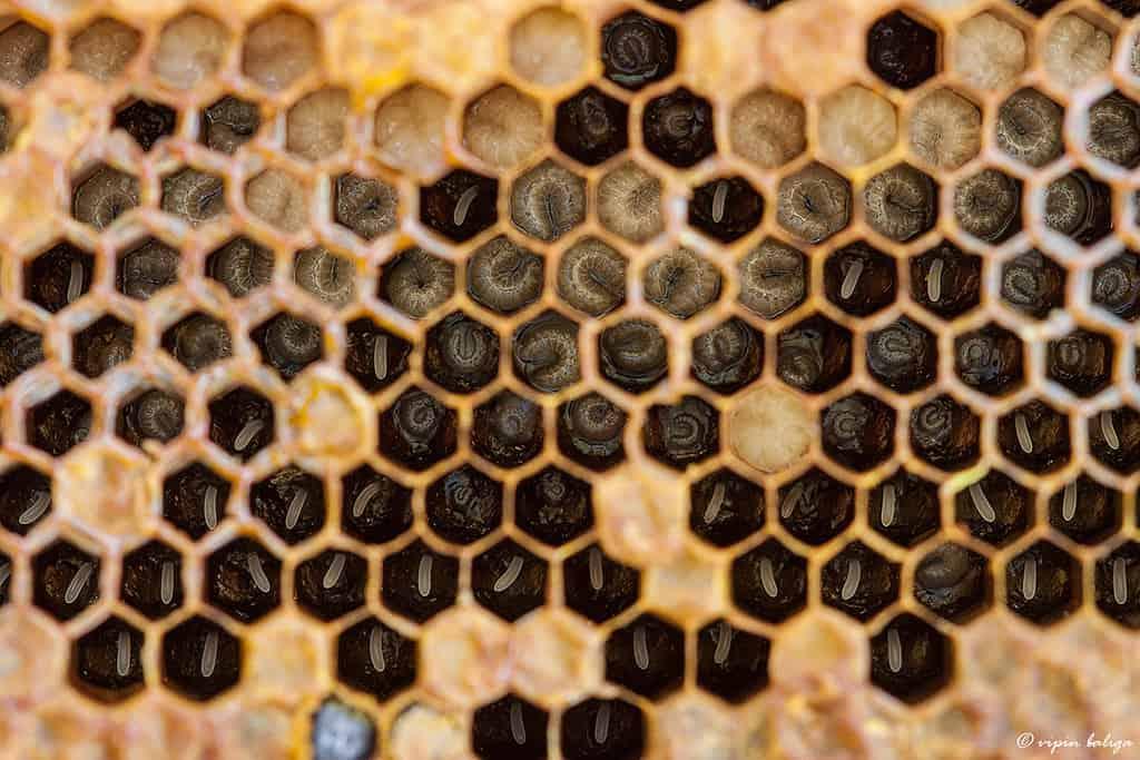 queen larvae photo