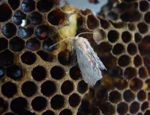 Wax Moth on Comb