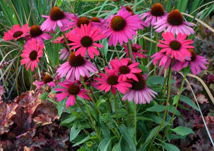Echinacea purpurea 'Dixie Belle'