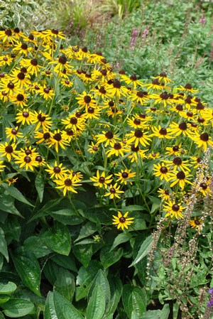 Black-eyed Susan 'Little Goldstar'