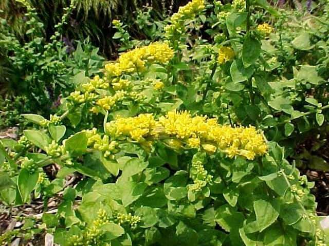 Solidago 'Golden Fleece'
