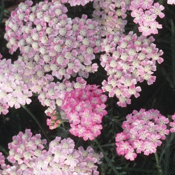 Yarrow 'Wonderful Wampee'
