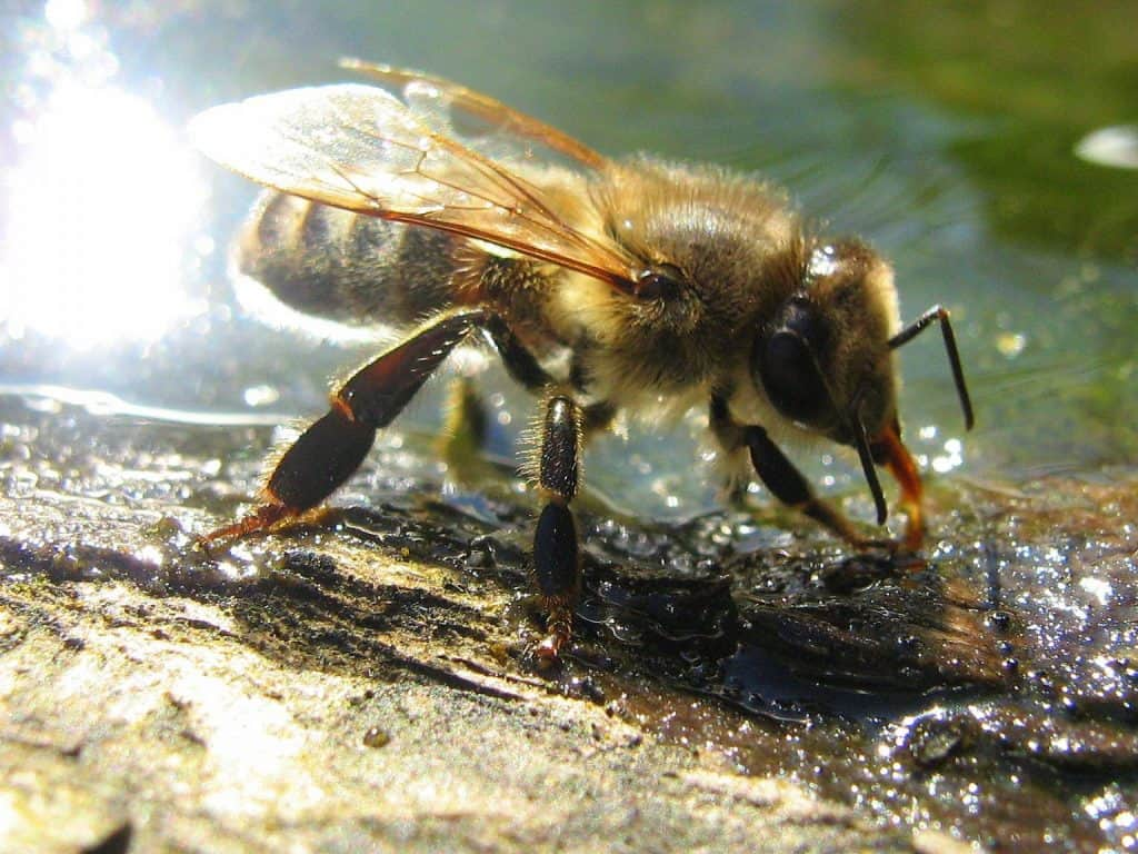 Drinking Bee