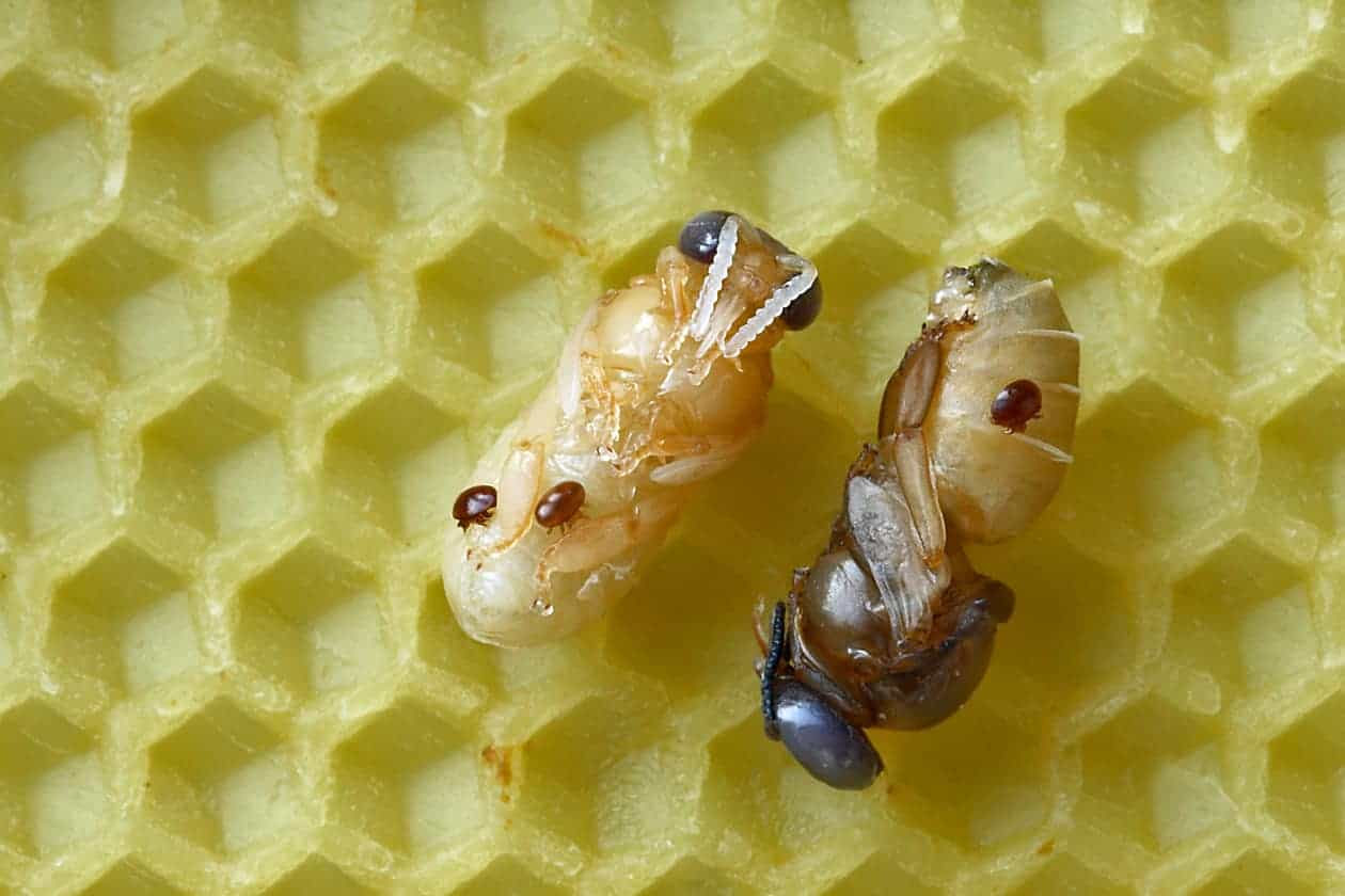 The Controversial Topic of Treatment-Free Beekeeping