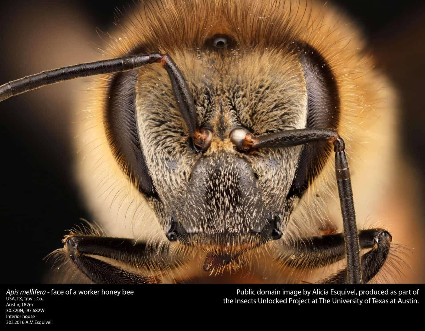 Honey bee worker head