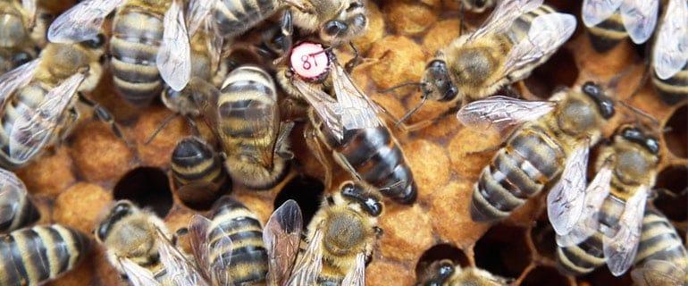 The Common Races of Honey Bees - PerfectBee - photo#12