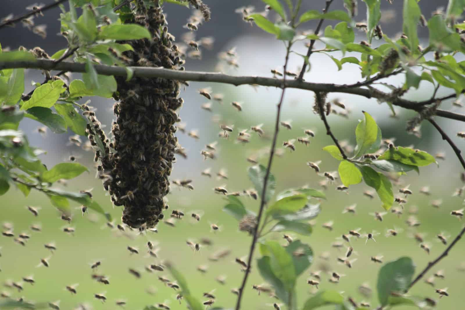why and how bees swarm perfectbee