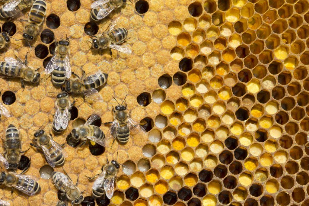 Bee brood