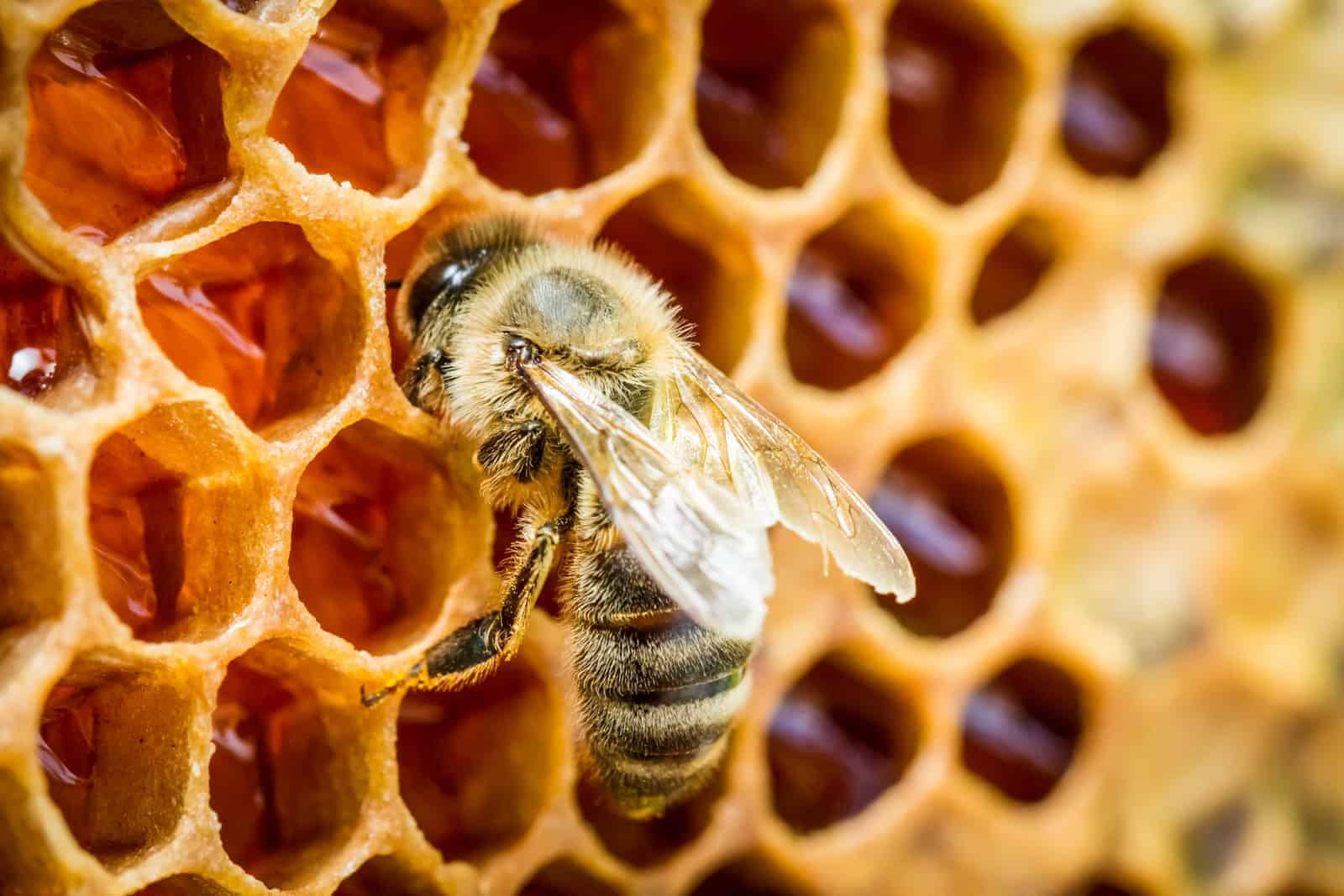 A closer look at how bees make honey