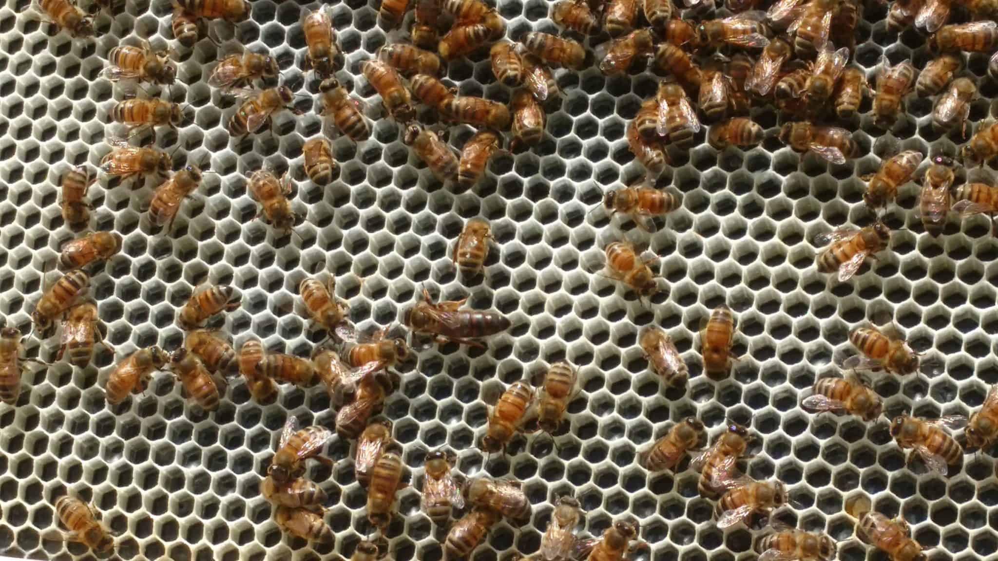 Monitoring Varroa Mite Levels
