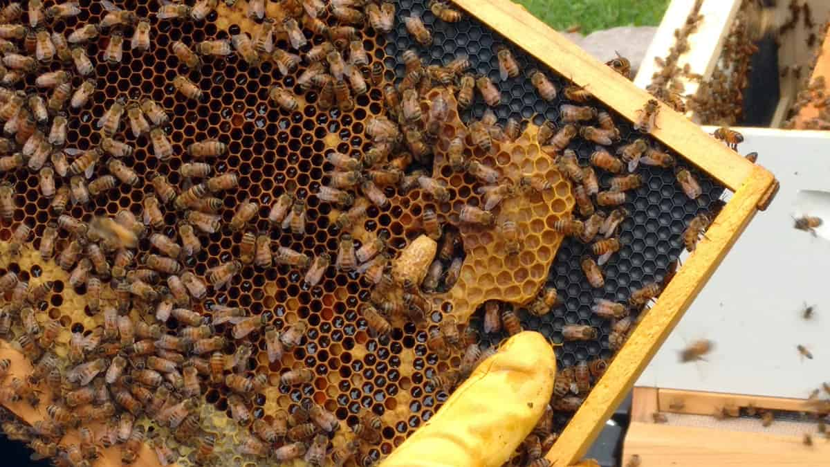 beekeeping articles archives perfectbee