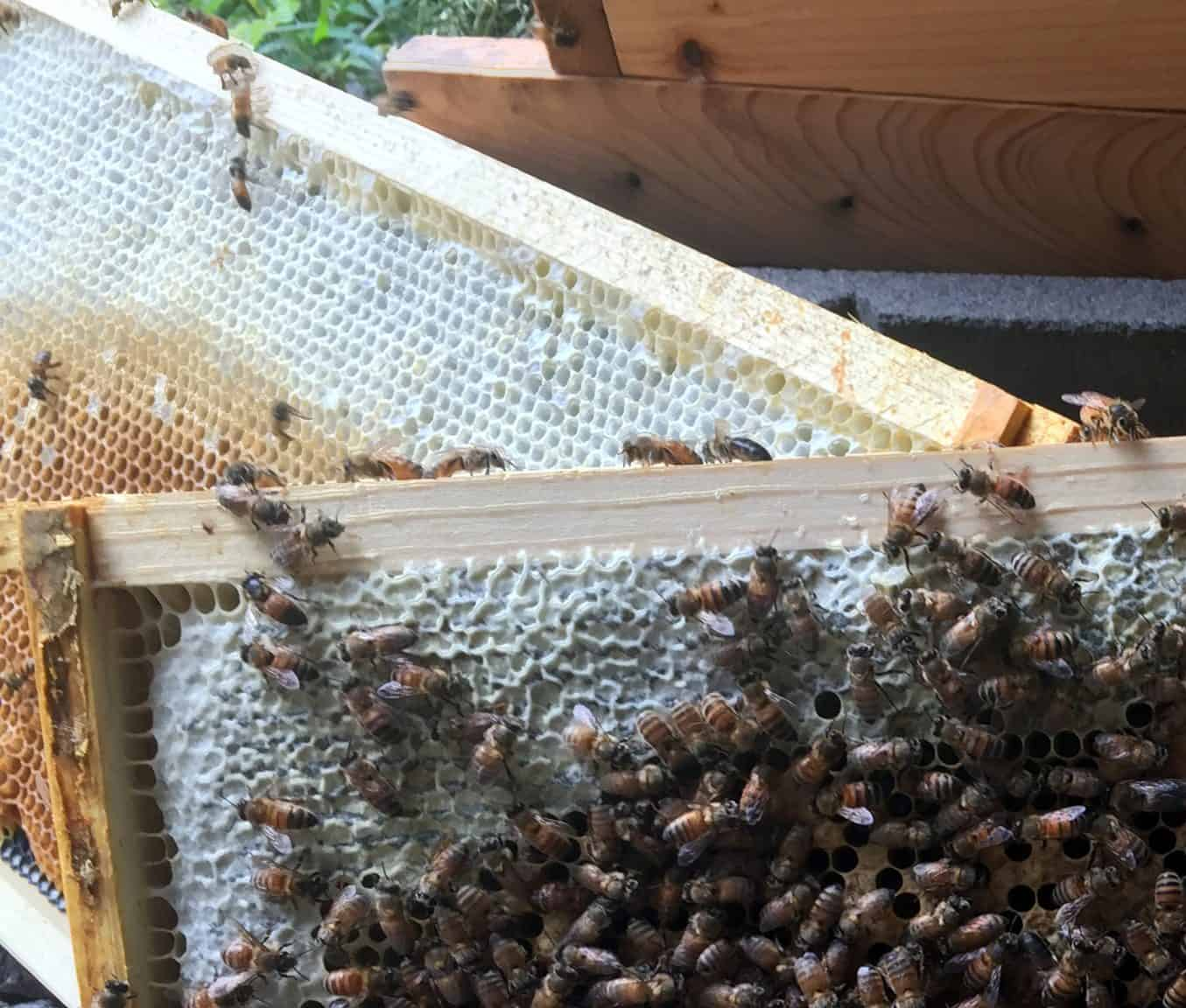 Bee Colony Growth Spurt