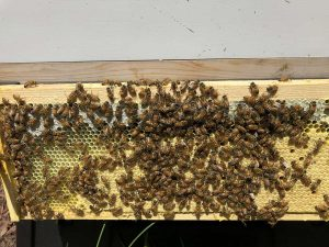 Hive Acquitaine Brood Pattern