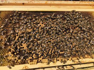 Hive Florence's Poor Brood Pattern