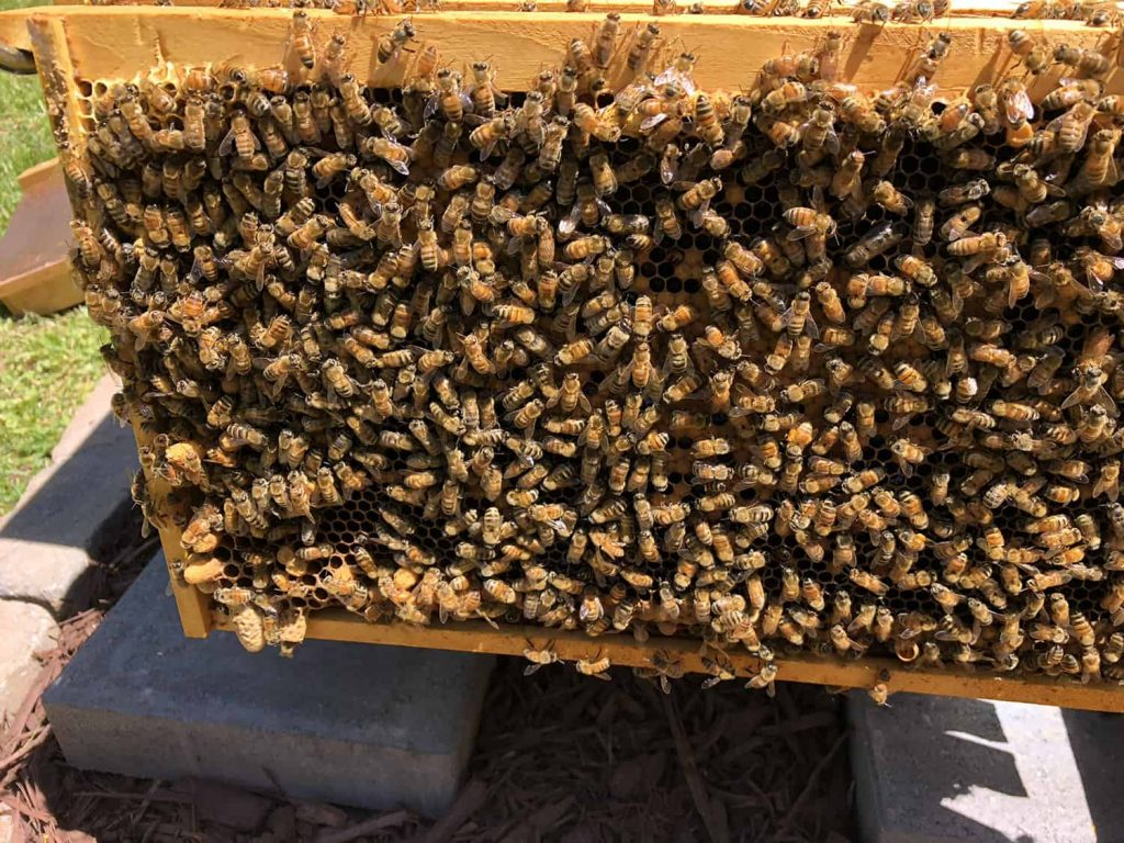 Buckfast Colony with Queen Cells