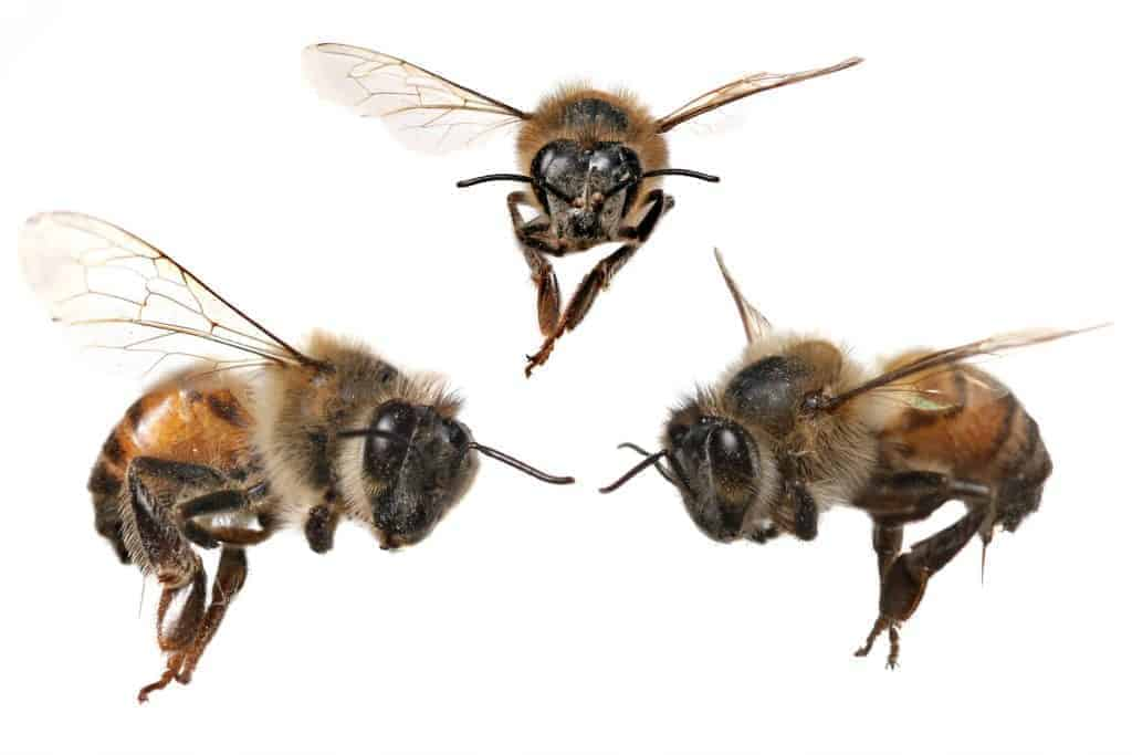 Bees facing each other