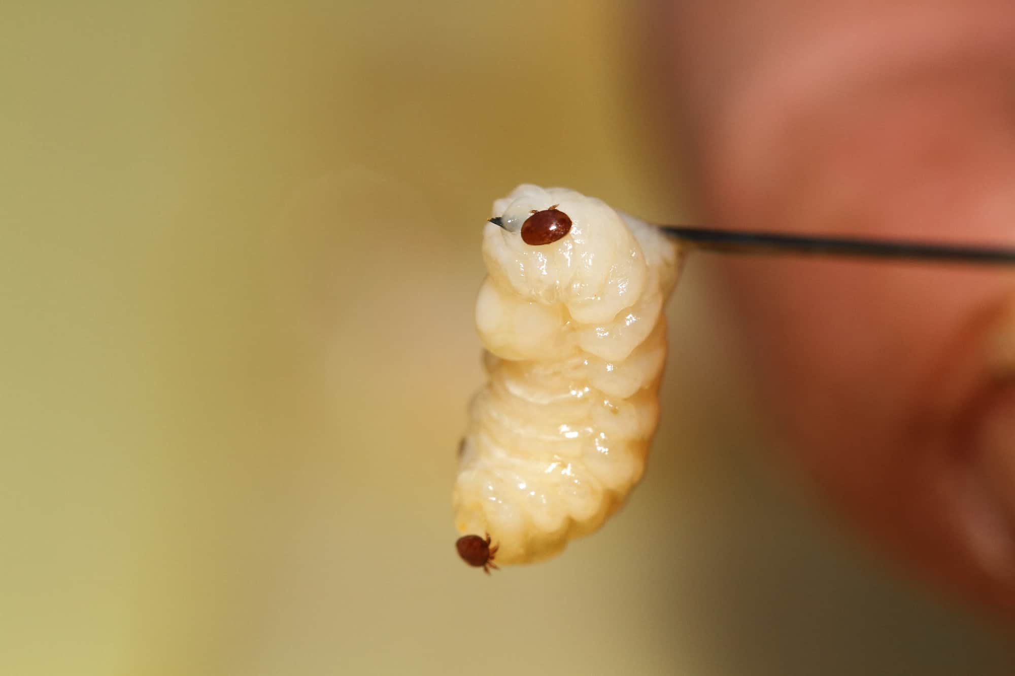 Varroa on larva