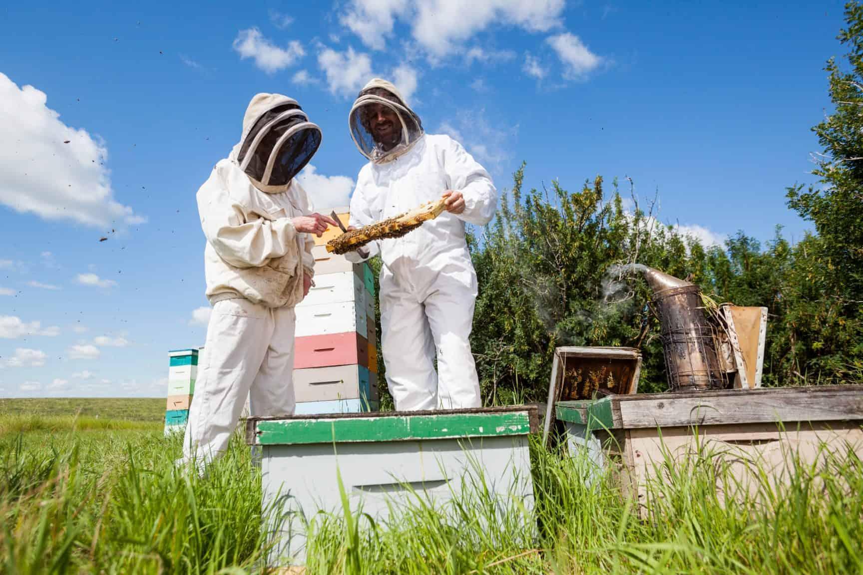 Beekeepers Examining Honeycomb