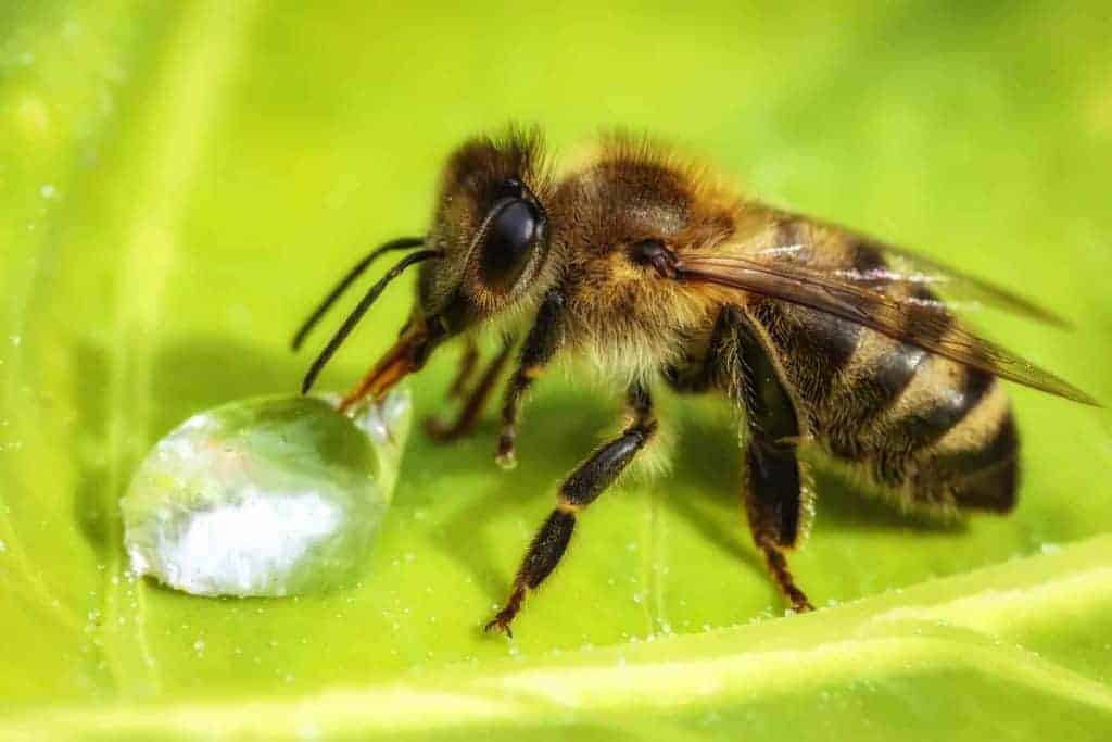 Bee drinking a water drop