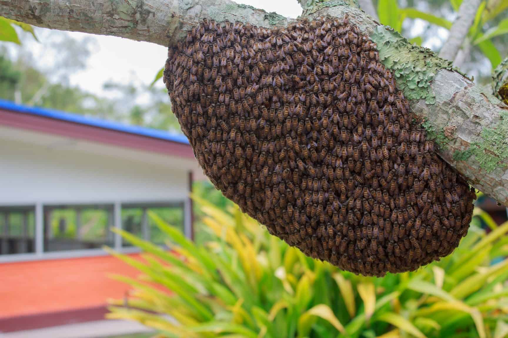 Bee swarm on a tree branch