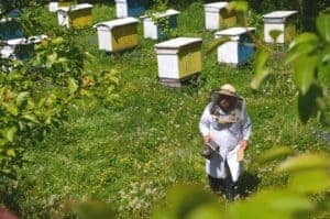 Beekeeper checking hives