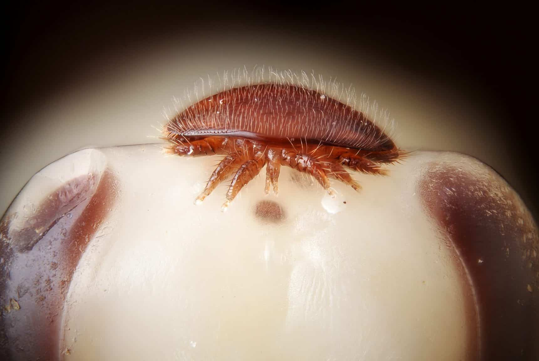 Varroa destructor on head of bee nymph