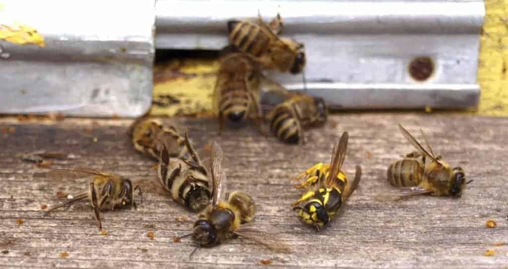 Wasp attack