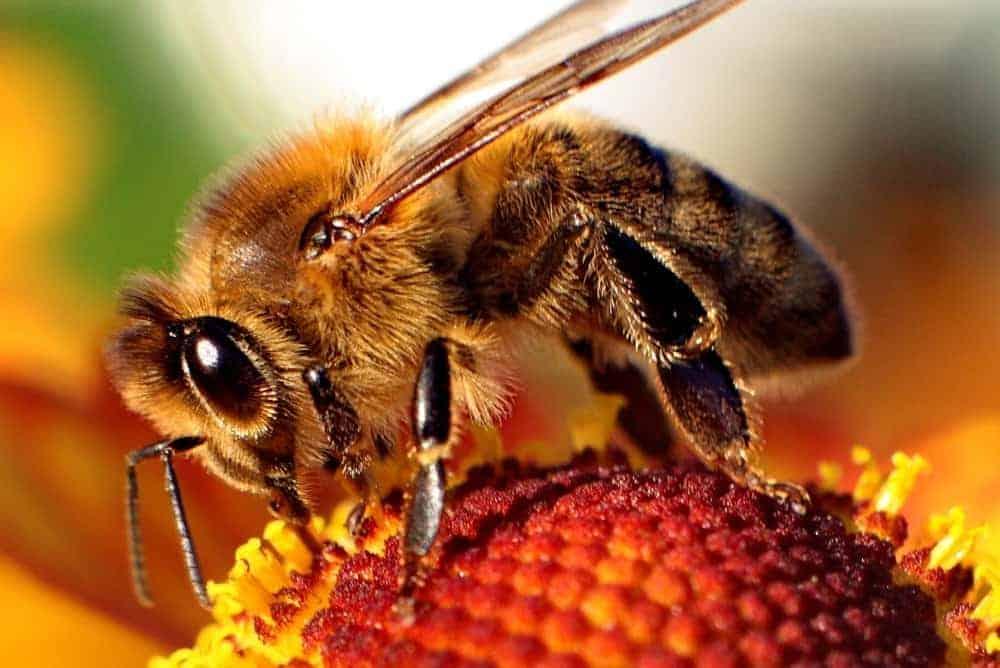 The Anatomy Of Bees Perfectbee