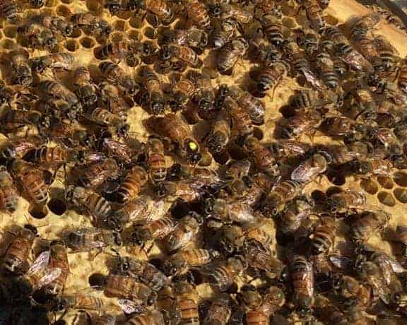 Marked Queen in Nucleus Hive