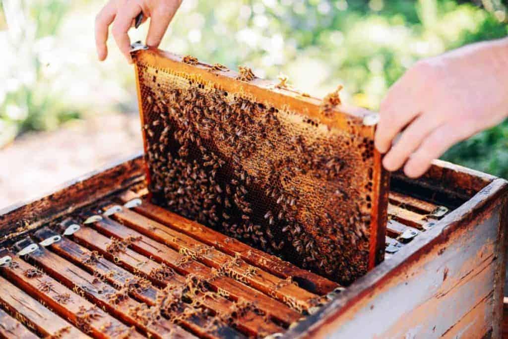 Beekeeper inspecting frame