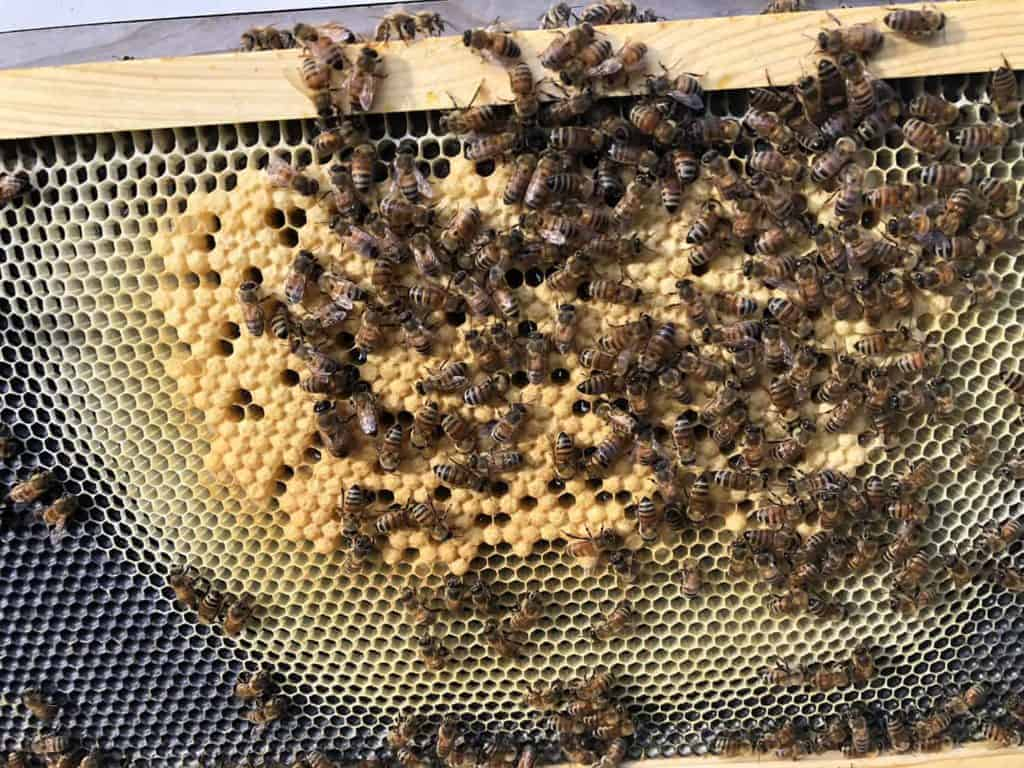 More Capped Brood