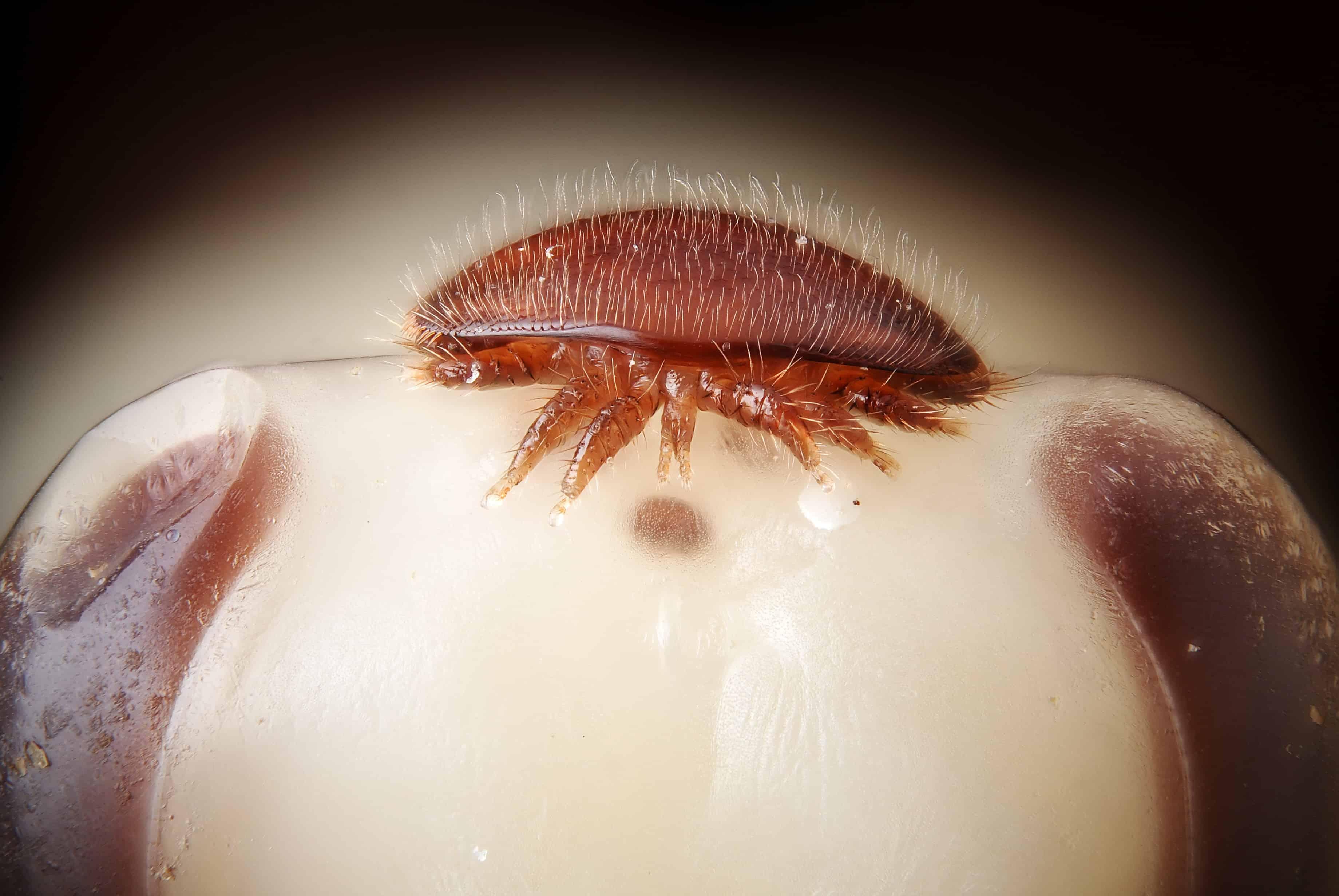 Varroa destructor on head of bee nymph