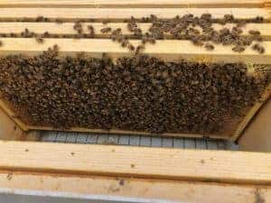 Hive Acquitaine - Solid Population and Growing