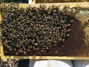 Hive Rome Frame of Brood