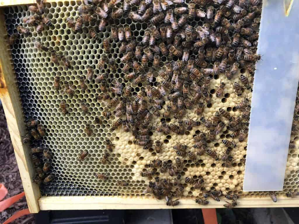 Recently Capped Brood in Hive Wales