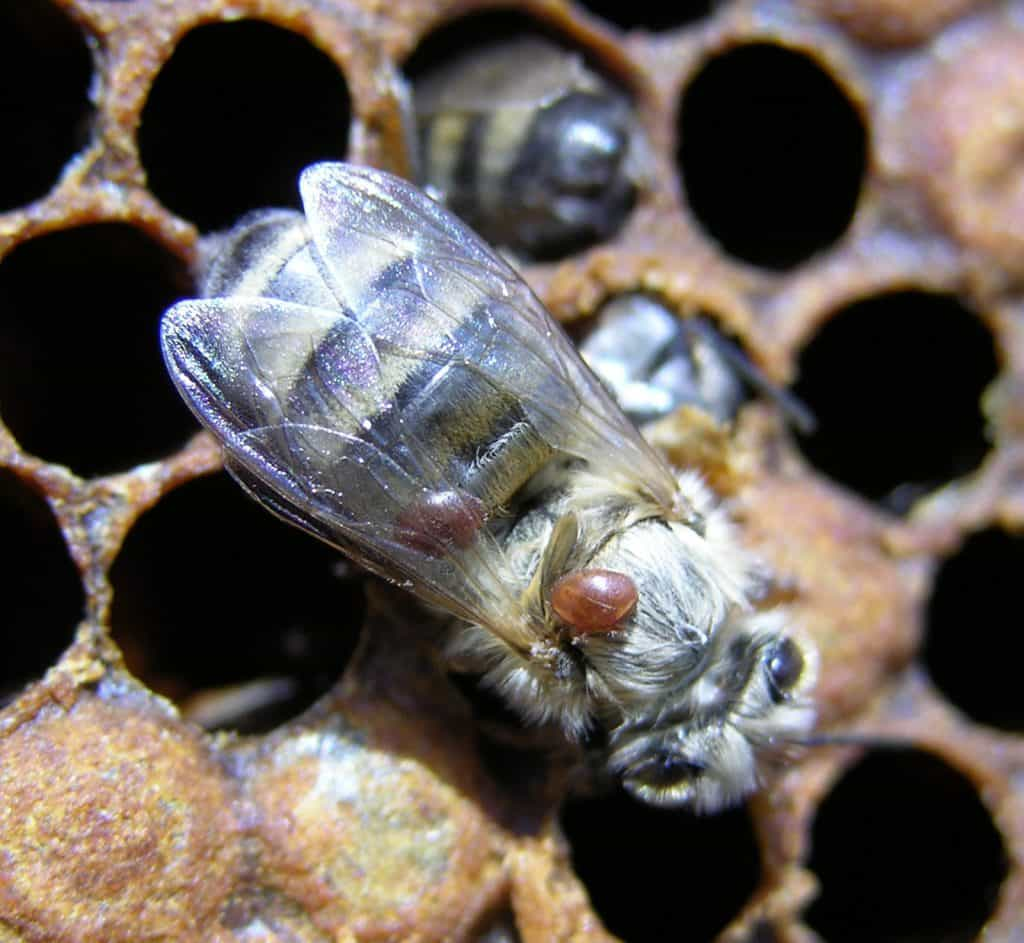 Varroa on honeybee