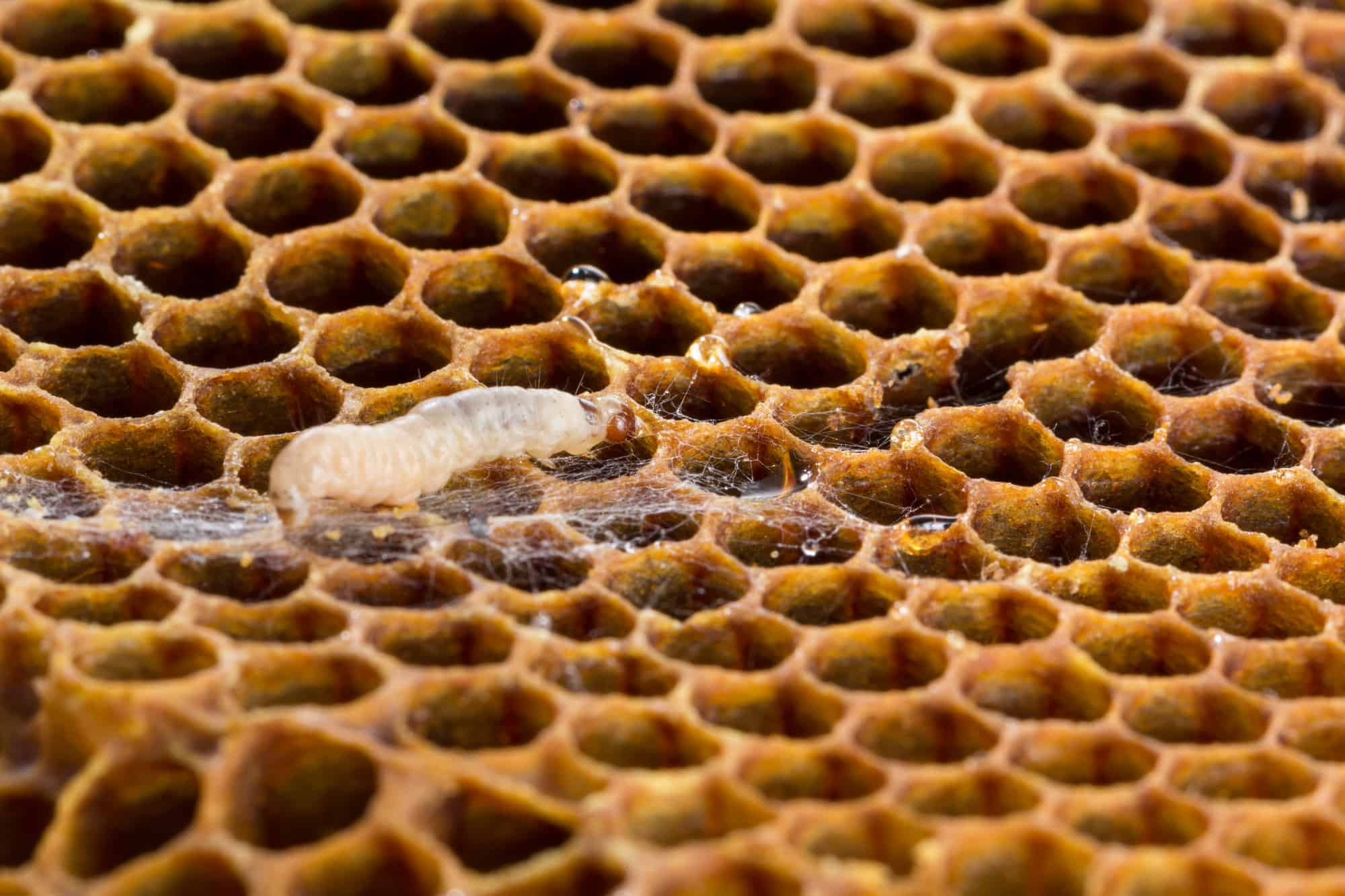 Wax Moth in Beehive