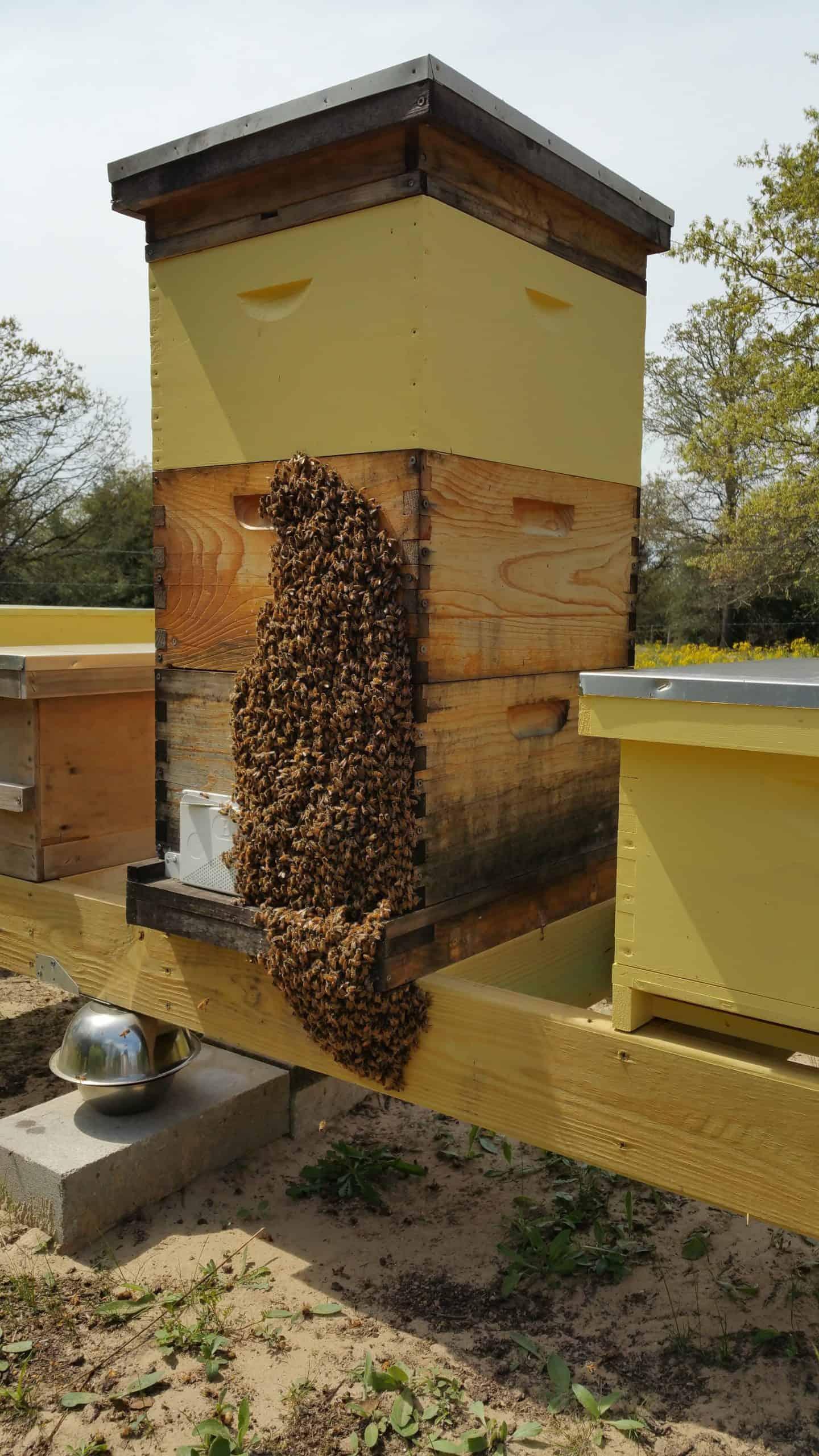 Bees Bearding DanSki's Bees